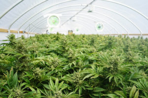 cannabis marijuana growers insurance farming growing marijuana cultivation insurance